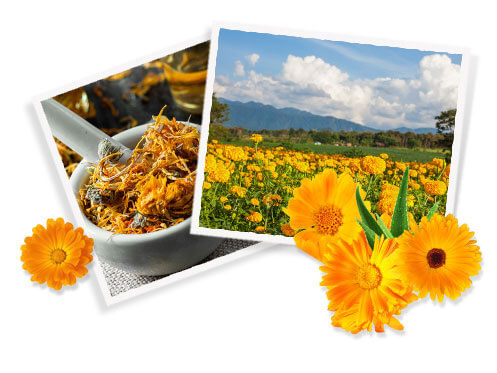 What are the Benefits of Calendula?